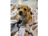 3 Beautiful Chihuahua X puppies