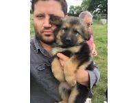 2 Girls Left!! Ready To Leave Now! German Shepards Pups -Straight Back Healthy Parents