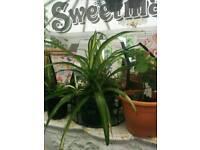 Rare hawiean spider plant