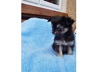 Gorgeous kc tiny chihuahua for sale