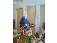 African Grey Congo Parrot. Tame, beautiful, gorgeous baby, 5 months old Parrot with cage