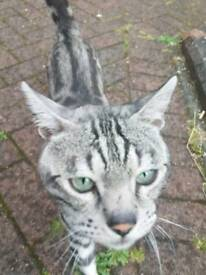 (Still available)Silver spotted bengal male on tica active register