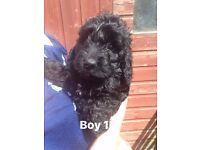 GORGEOUS BLACK F1 COCKAPOO PUPPIES FOR SALE