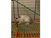 Gerbils (2 male, includes cage)