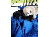 Pugs puppies
