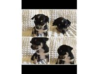 1 black and white chihuahua left