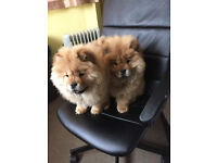 Three months old Chow Chow puppies are available