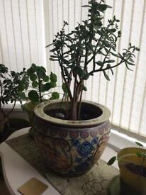 Very heavy beautiful Japanese planter & plant