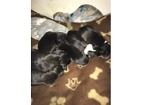 Staffie puppies