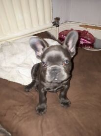 Blue FRENCH BULLDOG PUPPIES girls