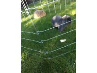 Baby rabbits for sale need homes !!