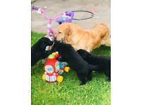 Golden Retriever Dogs Puppies For Sale Gumtree