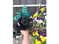 Shih tzu pups rare black
