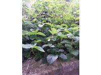 Strawberrry Plants