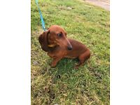 Red, female, standard dachshund needs to be rehomed!