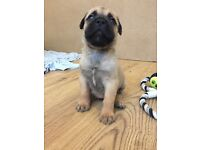 Stunning Bullmastiff Puppies