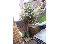 large yucca plant/tree