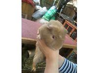 2 male gunea pigs for sale sold together