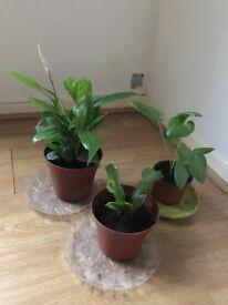 Three indoor plants for £5