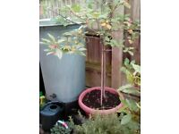 Large trees in pots