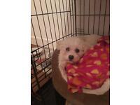 Bichon frise girl puppy adorable