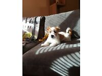 7 month jack Russell X shi tzu for sale
