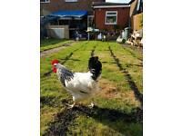 Backyard hen