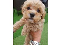 Poochon puppies ( bichon X toy poodle)