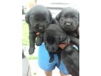 All Black 9 KC Registered Labrador Pups For Sale