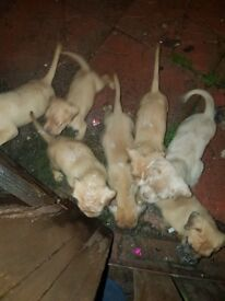 Beutifull 3 quarter bord quarter american buldog pups