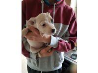 Female staffy pup