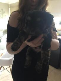 Yorkie Lhasa apso pups 1 girl and 1 boy left black brown very fluffy