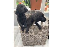 black and yellow puppies,