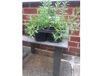Tray of 4 Lavender Plants