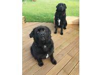 Beautiful Newfoundland Puppies