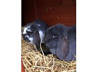 2 Female large French lop Earred Rabbits with double hutch