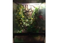 Three young crested geckos and large setup