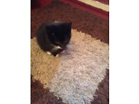 8 week old black & white kitten available