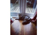 Female Maine Coon looking for new home