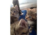 Beautiful 9 wks tabbies 2 male 2 female, litter trained de-fleas and wormed eating wet & dry Swimdon