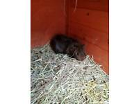 Brown baby guinea pig girl