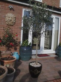 Large 160cm tall Standard OLIVE TREE (Olea Europea) in Alhambra decorative ceramic pot