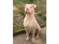 XL bully puppy