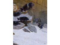 malawi/tang cichlids tropheus duboisi