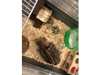 2 dwarf hamsters with cage and accessories £40 ONO