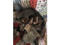 Chihuahua cross jack puppies