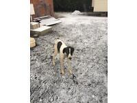 Ball collie Greyhound