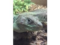 Jewel eyed lizards