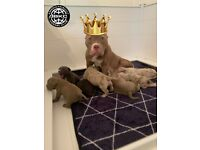 PRICE DROP!!!Outstanding American Pocket Bully Puppies