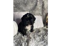 Shih tzu puppy's bichon puppy